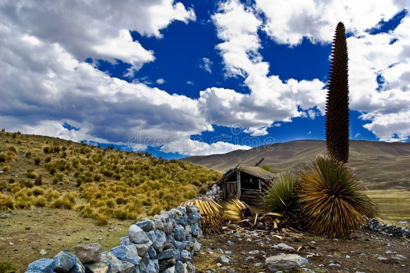 Puya Raimondi et ciel bleu photo libre de droits