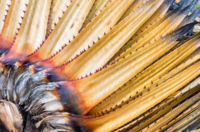 Puya raimondii em Cordillera Blanca, Peru imagens de stock