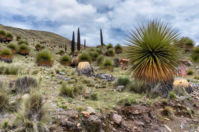 Puya raimondii em Cordillera Blanca, Peru imagem de stock