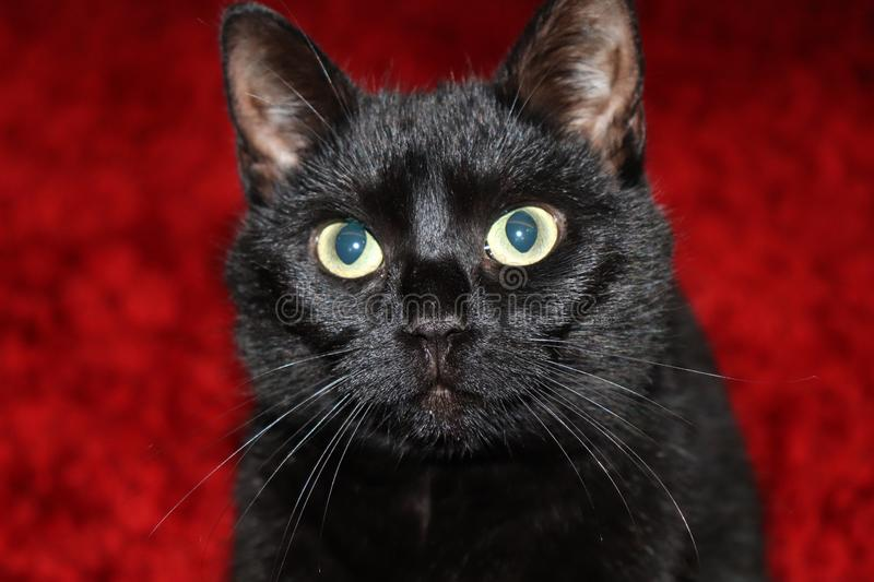 Puzzled black cat on a red background stock images
