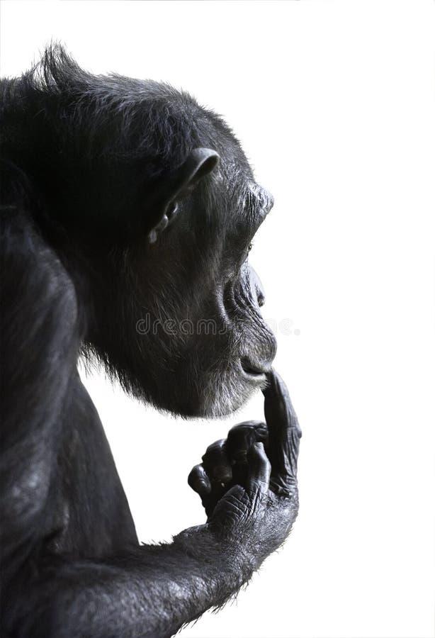 Free Puzzled Chimp Isolated On White Royalty Free Stock Photo - 112400615