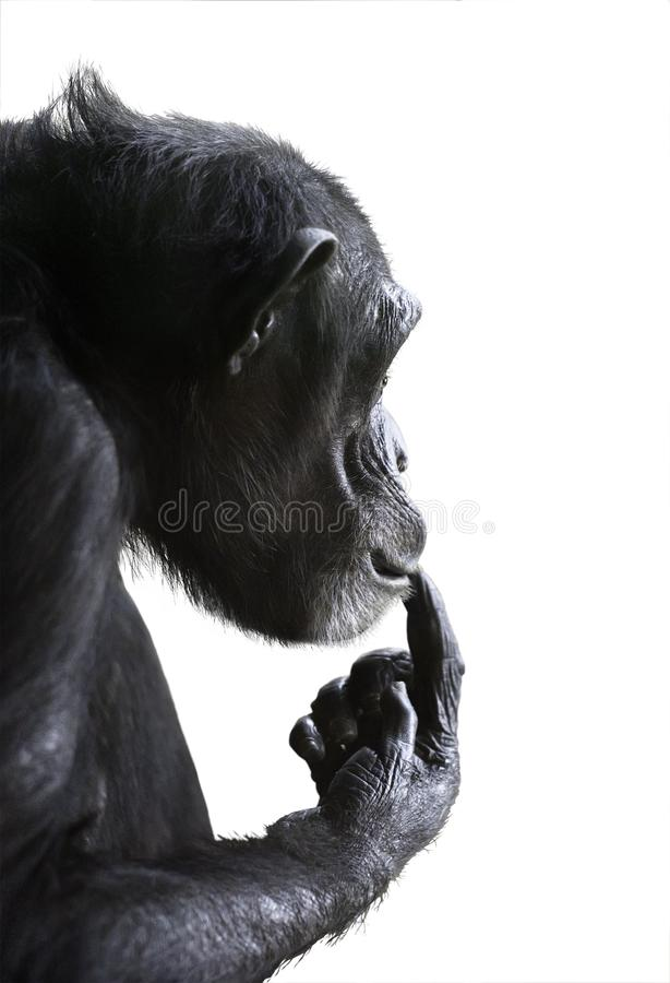 Puzzled chimp isolated on white. Isolated monkey side view. Chimpanzee's head portrait with surprised expression on its face and its hand on lips isolated royalty free stock photo