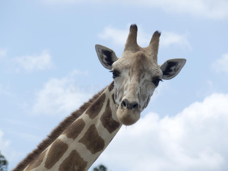 Puzzled giraffe royalty free stock image