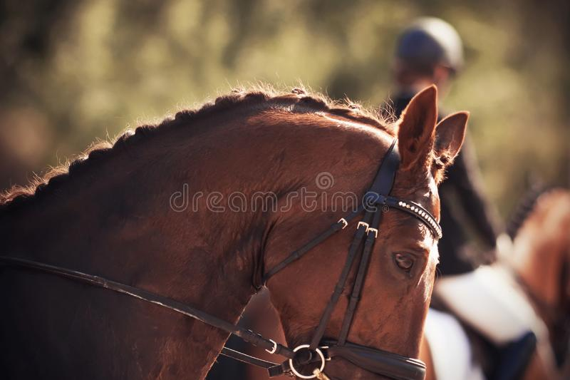 A puzzled red horse, wearing a headband to perform at dressage. A puzzled red horse with a braided mane, wearing a headband to perform at dressage competitions royalty free stock image