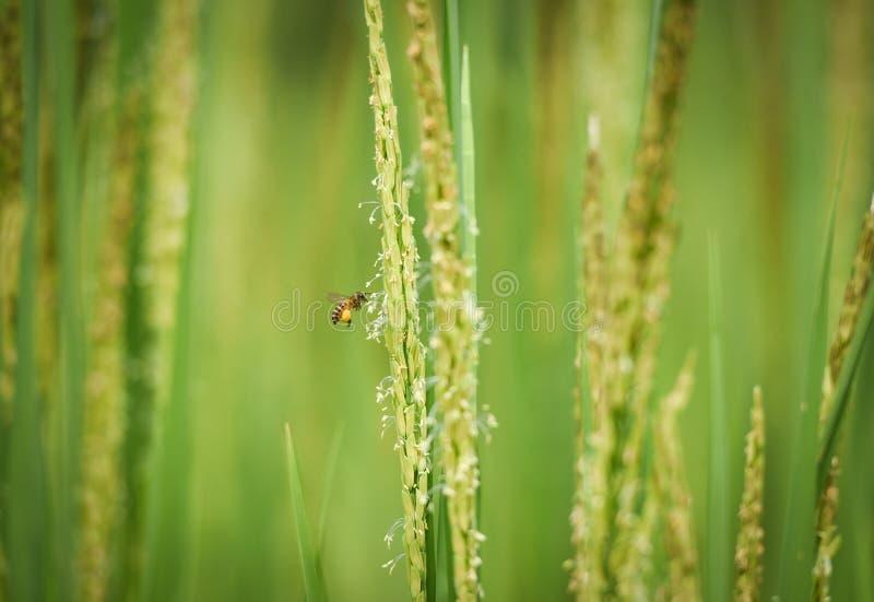 pyłek zbierania pszczół zdjęcie royalty free