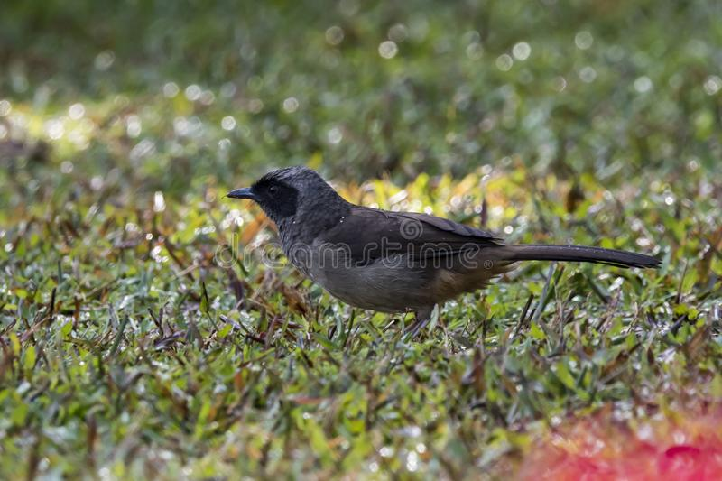 Pycnonotus cafer. Is a member of the bulbul family of passerines. It is resident breeder across the Indian subcontinent, including Sri Lanka extending east to royalty free stock image