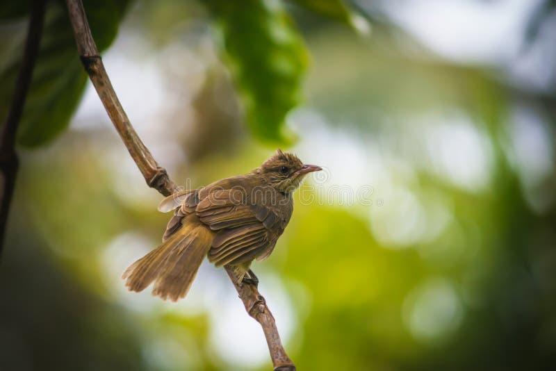 Pycnonotusblanfordi stock foto