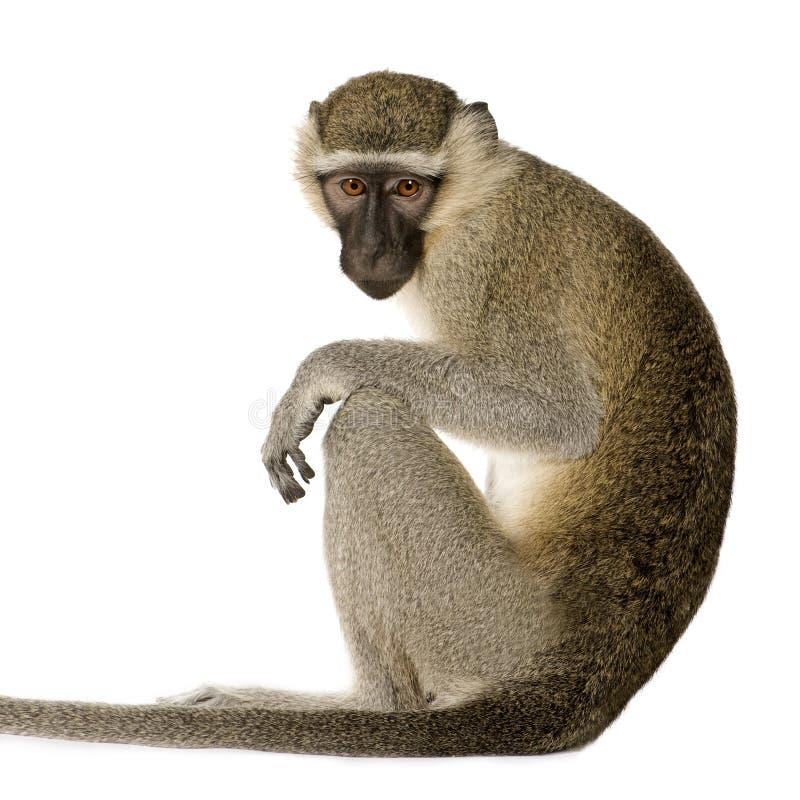 pygerythrus πιθήκων chlorocebus vervet στοκ φωτογραφία με δικαίωμα ελεύθερης χρήσης