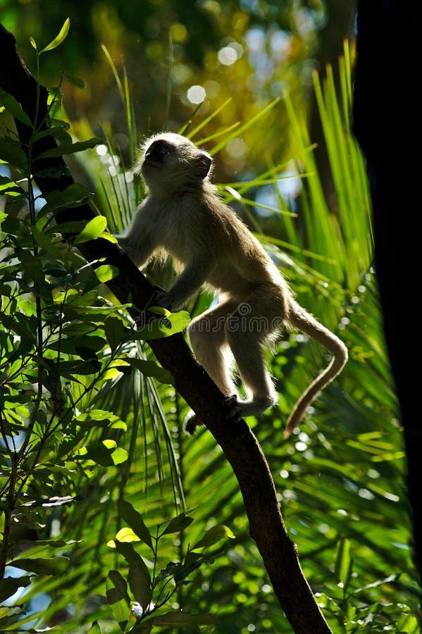 Pygerythrus Chlorocebus πιθήκων στο δάσος του Victoria Falls στοκ εικόνες