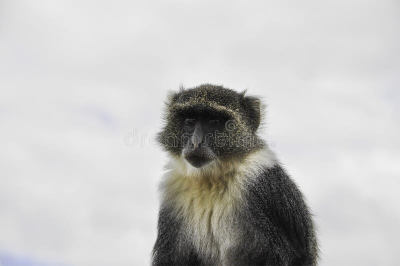 Pygerythrus Kenia Nairobi de Chlorocebus del retrato del mono de Vervet foto de archivo libre de regalías
