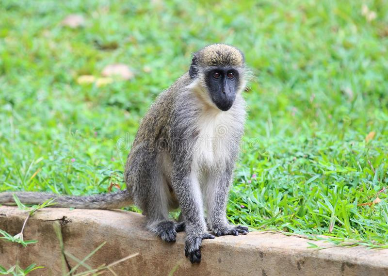 Pygerythrus verde de Chlorocebus do macaco de vervet fotografia de stock