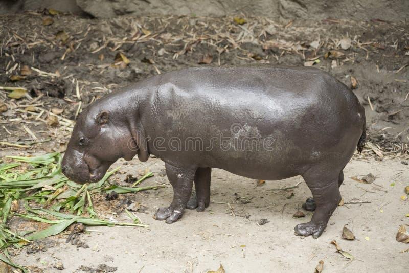 Pygmäenflusspferd/Zwergflusspferd ist ein kleines stockbild