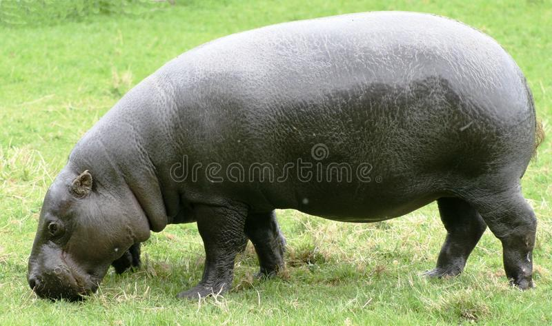 PygmäenHippopotamus 9 lizenzfreie stockfotos