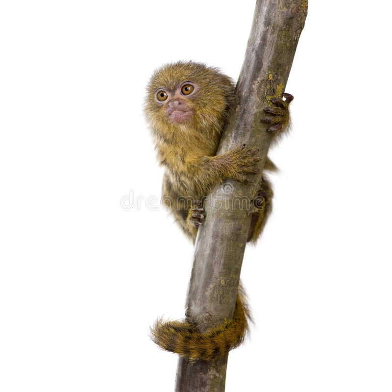 PygmäenMarmoset (5 Wochen) lizenzfreie stockfotos