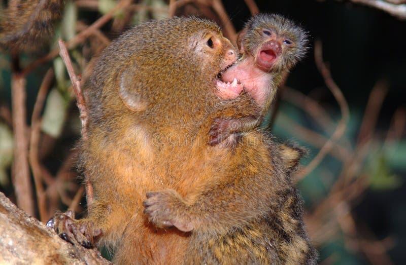 Pygmévit silkesapa behandla som ett barn Cebuellapygmaea arkivbild
