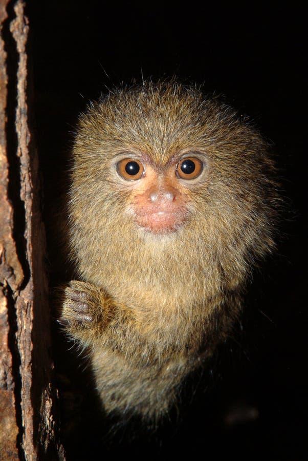 Pygmévit silkesapa behandla som ett barn Cebuellapygmaea royaltyfria foton