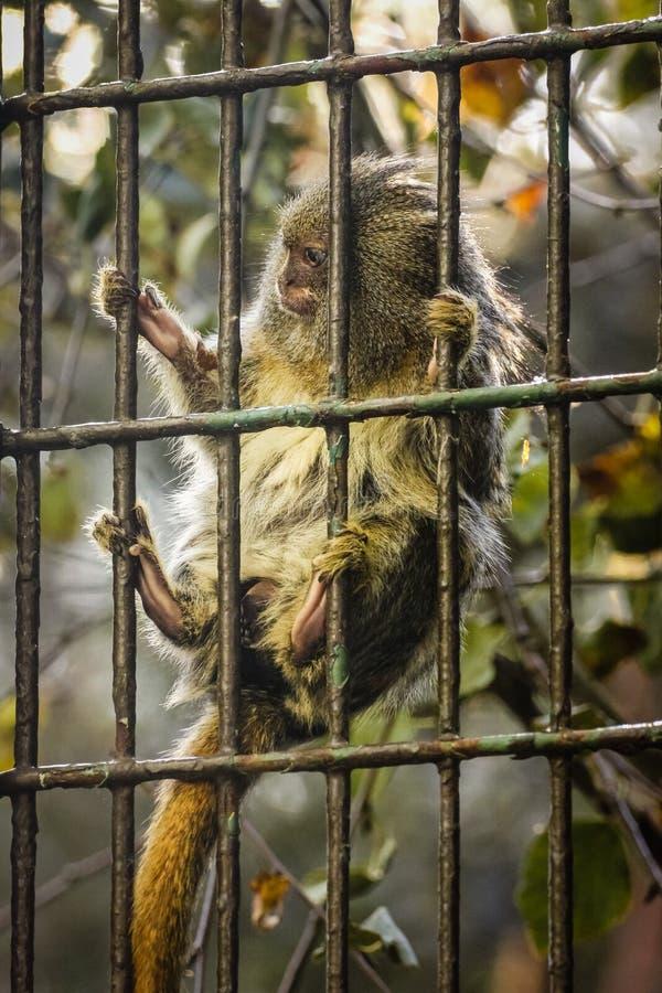 Pygmévit silkesapa Dublin zoo ireland arkivfoton