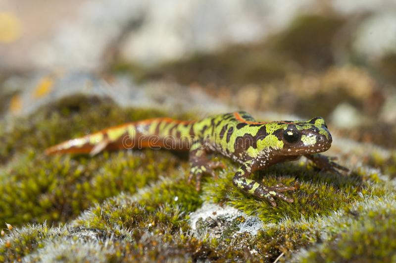 Pygm?e marmorte Newt Triturus pygmaeus, Amphibie lizenzfreies stockfoto