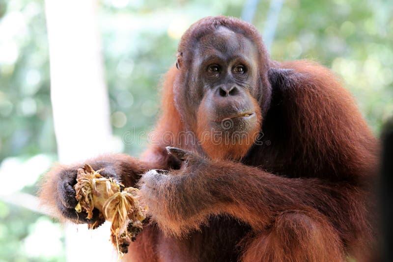 Pygmaeus de Pongo de Born?o-orang-outan-Utan - Semenggoh Born?o Malaisie Asie photo libre de droits