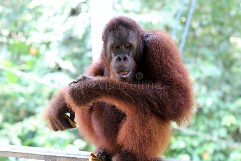 Pygmaeus de Pongo de Born?o-orang-outan-Utan - Semenggoh Born?o Malaisie Asie images stock