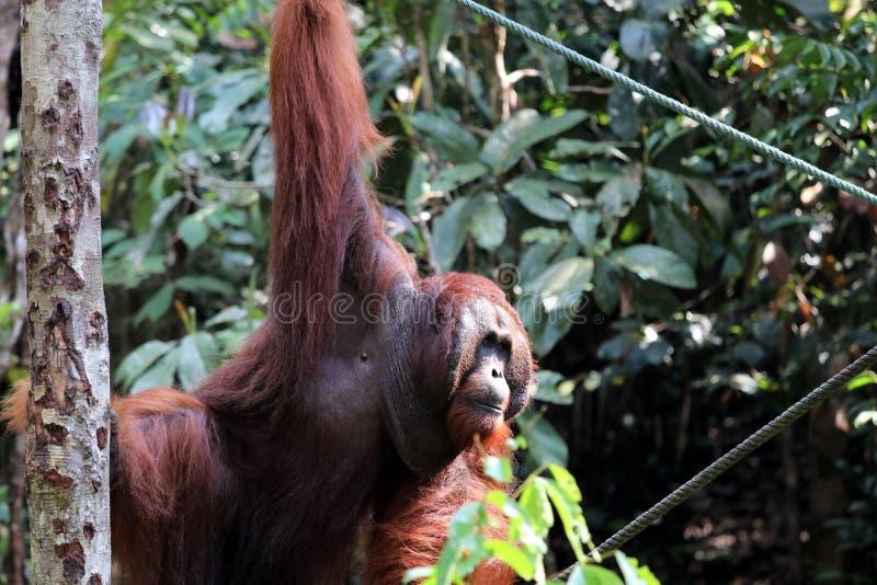 Pygmaeus de Pongo de Born?o-orang-outan-Utan - Semenggoh Born?o Malaisie Asie photographie stock