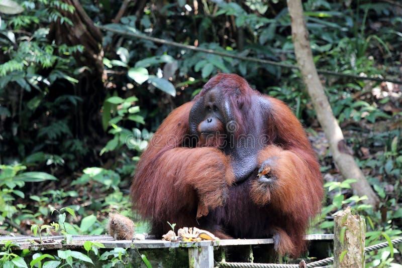 Pygmaeus de Pongo de Born?o-orang-outan-Utan - Semenggoh Born?o Malaisie Asie photos libres de droits