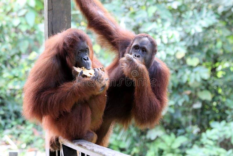 Pygmaeus de Pongo de Born?o-orang-outan-Utan - Semenggoh Born?o Malaisie Asie image stock
