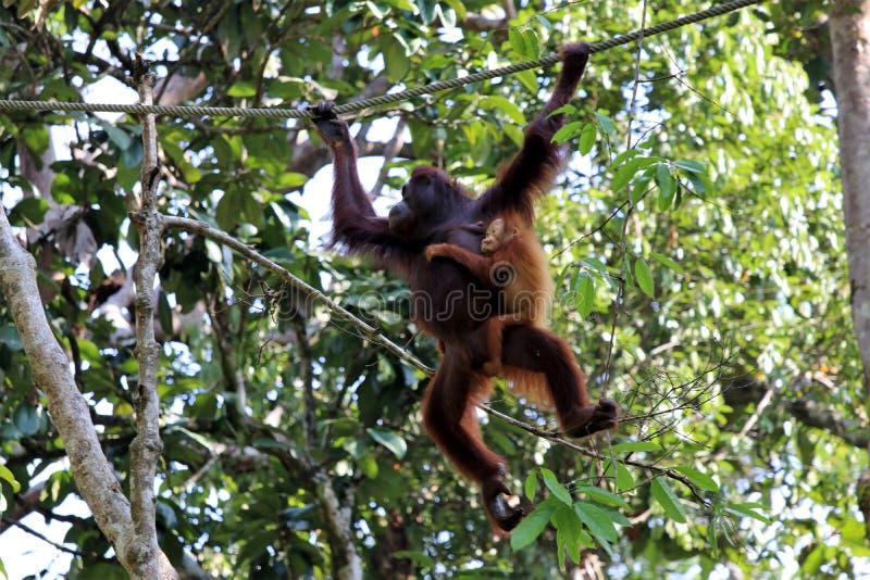 Pygmaeus de Pongo de Born?o-orang-outan-Utan - Semenggoh Born?o Malaisie Asie photos stock