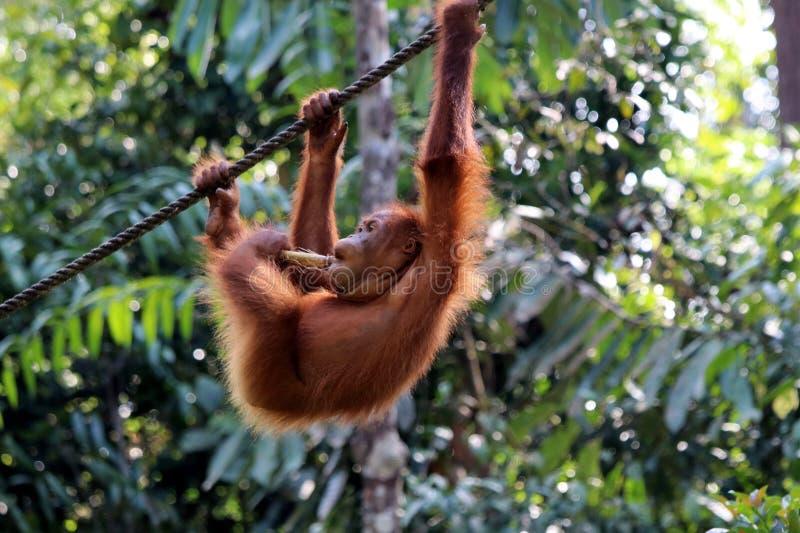 Pygmaeus de Pongo de Born?o-orang-outan-Utan - Semenggoh Born?o Malaisie Asie photo stock