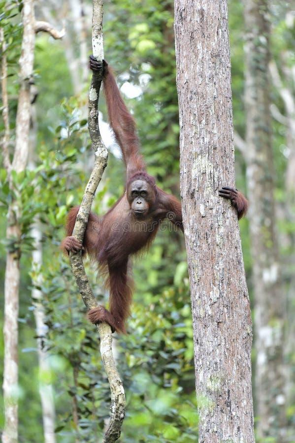 Pygmaeus de Pongo d'orang-outan de Bornean sur l'arbre dans le natur sauvage photographie stock libre de droits