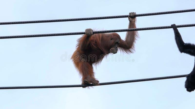 Pygmaeus di pygmaeus dell'orangutan/pongo di Bornean che cammina lungo le corde fotografia stock