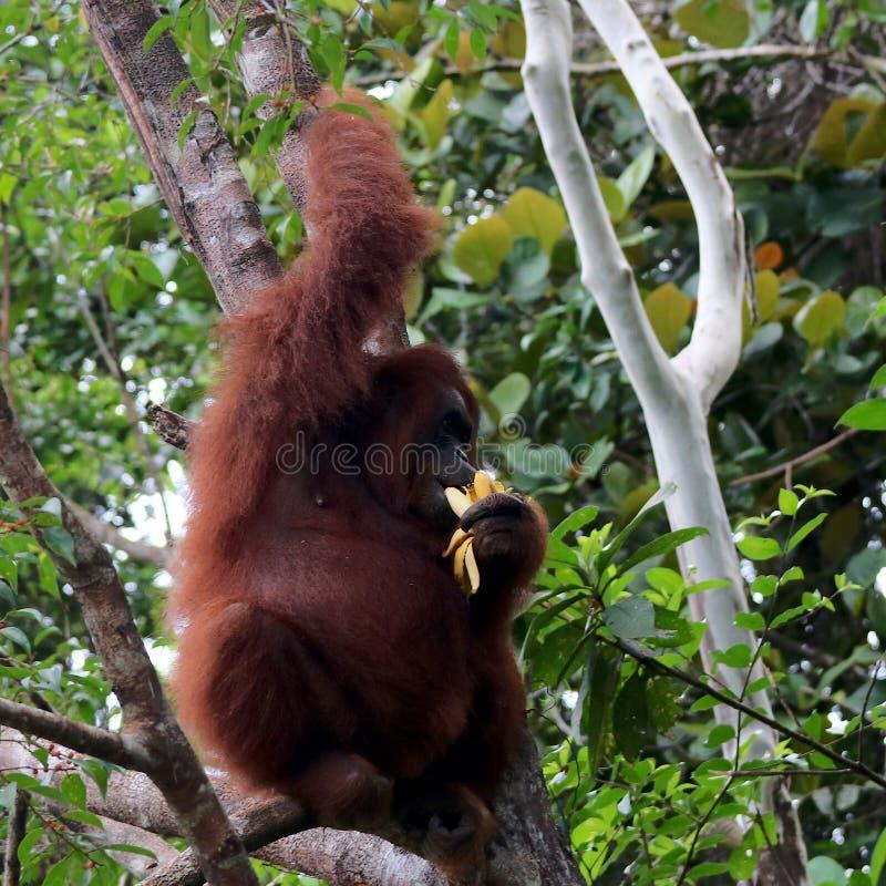 Pygmaeus mignon de Pongo d'orang-outan de Bornean dans le sauvage photo libre de droits