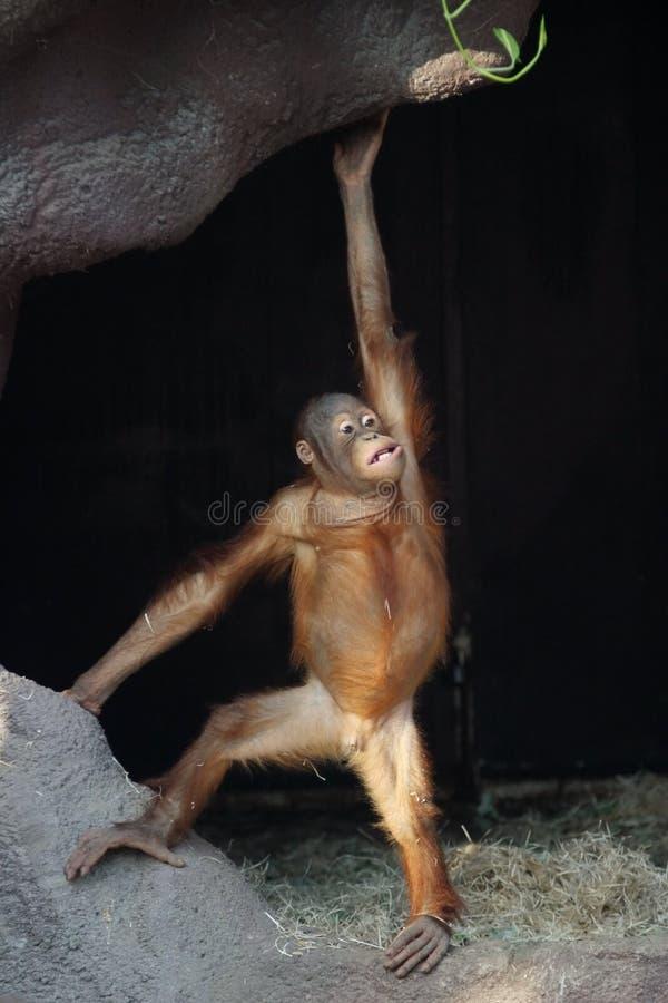 pygmaeus pongo orangutan abelii стоковая фотография