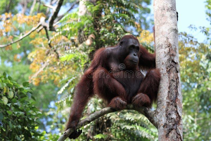 Pygmaeus van Borneo-orang-oetan-Utan Pongo - Semenggoh Borneo Maleisi? Azi? stock fotografie