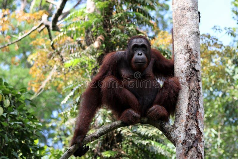 Pygmaeus van Borneo-orang-oetan-Utan Pongo - Semenggoh Borneo Maleisi? Azi? royalty-vrije stock foto