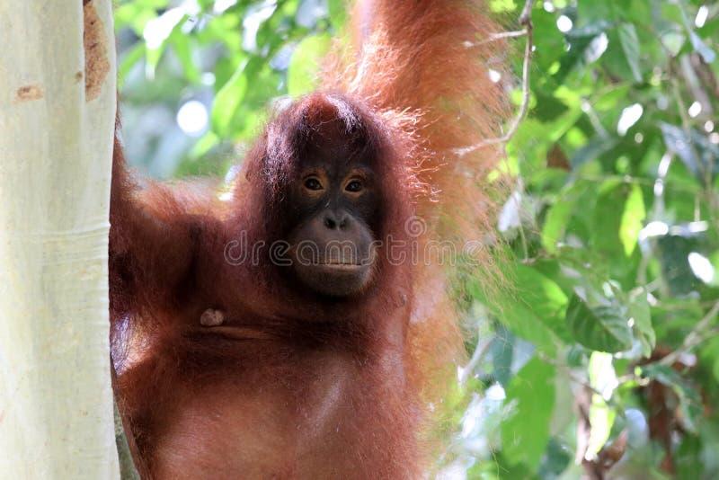 Pygmaeus van Borneo-orang-oetan-Utan Pongo - Semenggoh Borneo Maleisi? Azi? stock afbeeldingen