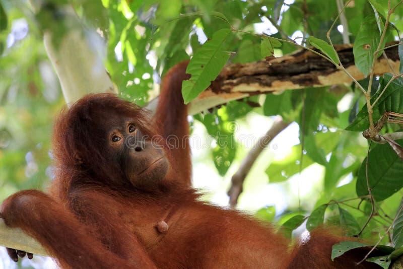 Pygmaeus van Borneo-orang-oetan-Utan Pongo - Semenggoh Borneo Maleisi? Azi? royalty-vrije stock afbeelding