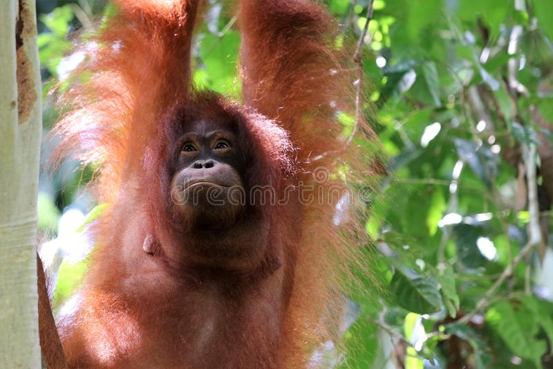 Pygmaeus van Borneo-orang-oetan-Utan Pongo - Semenggoh Borneo Maleisi? Azi? stock afbeelding
