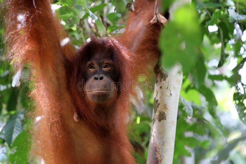 Pygmaeus van Borneo-orang-oetan-Utan Pongo - Semenggoh Borneo Maleisi? Azi? royalty-vrije stock afbeeldingen