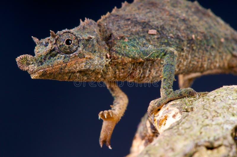 pygmy χαμαιλεόντων στοκ φωτογραφία με δικαίωμα ελεύθερης χρήσης