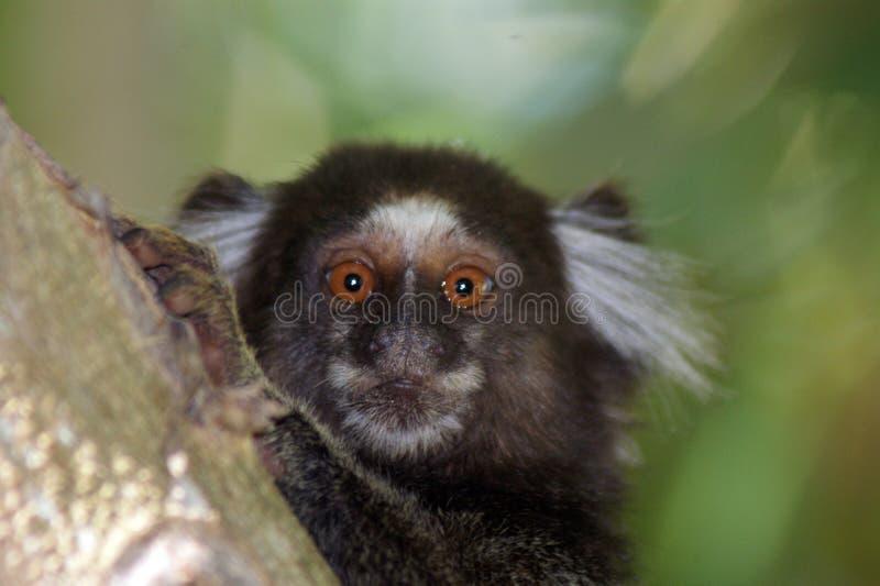 Pygmy callithrix stock photography
