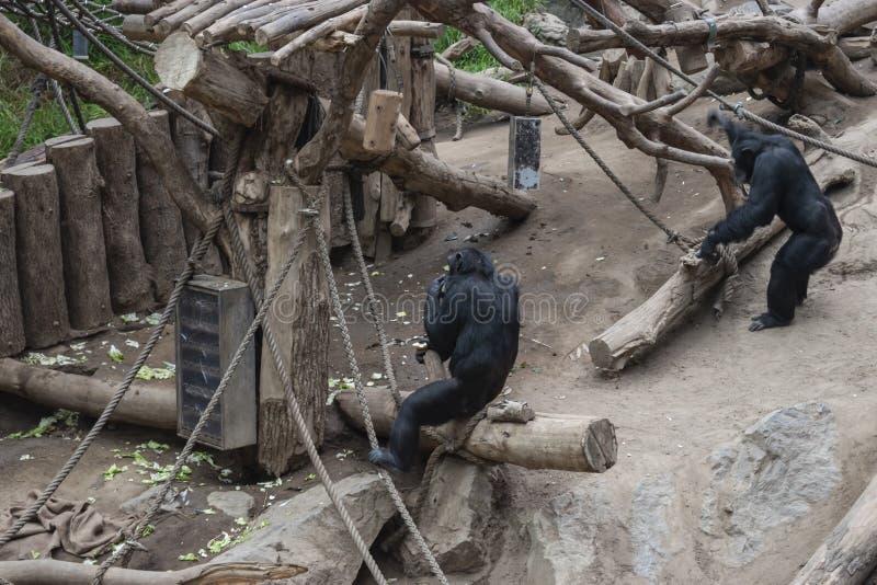 Pygmy chimpanzees playing. Pygmy chimpanzees & x28;Pan paniscus& x29; in a zoo, tropical, jungle, nature, child, care, creature, simia, animal, wildlife, baby stock photos