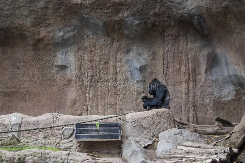 Pygmy chimpanzees playing. Pygmy chimpanzees (Pan paniscus) in a zoo, tropical, jungle, nature, child, care, creature, simia, animal, wildlife, baby stock images
