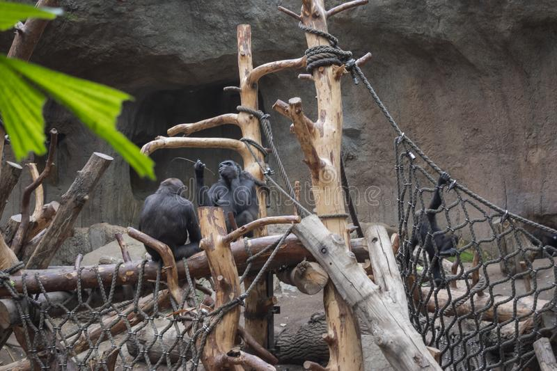 Pygmy chimpanzees playing. Pygmy chimpanzees & x28;Pan paniscus& x29; in a zoo, tropical, jungle, nature, child, care, creature, simia, animal, wildlife, baby stock images