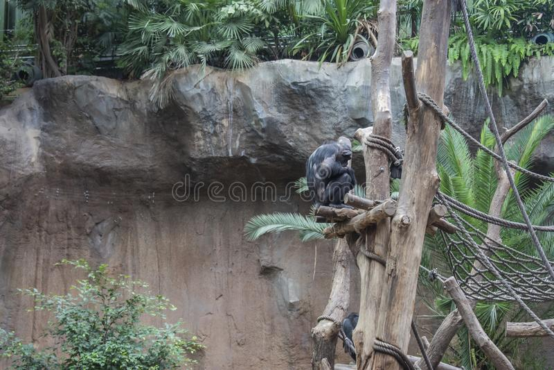 Pygmy chimpanzees playing. Pygmy chimpanzees & x28;Pan paniscus& x29; in a zoo, tropical, jungle, nature, child, care, creature, simia, animal, wildlife, baby stock photo