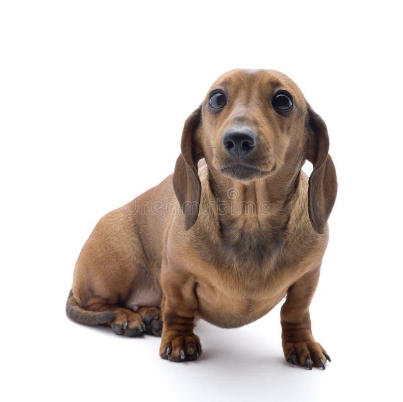 Pygmy das-hond stock fotografie