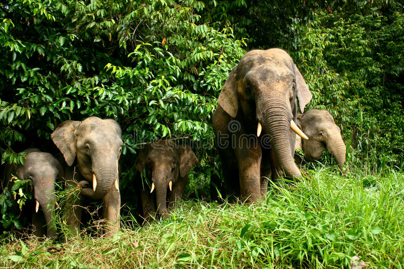 Download Pygmy Elephant stock image. Image of borneo, jungle, rainforest - 18092613