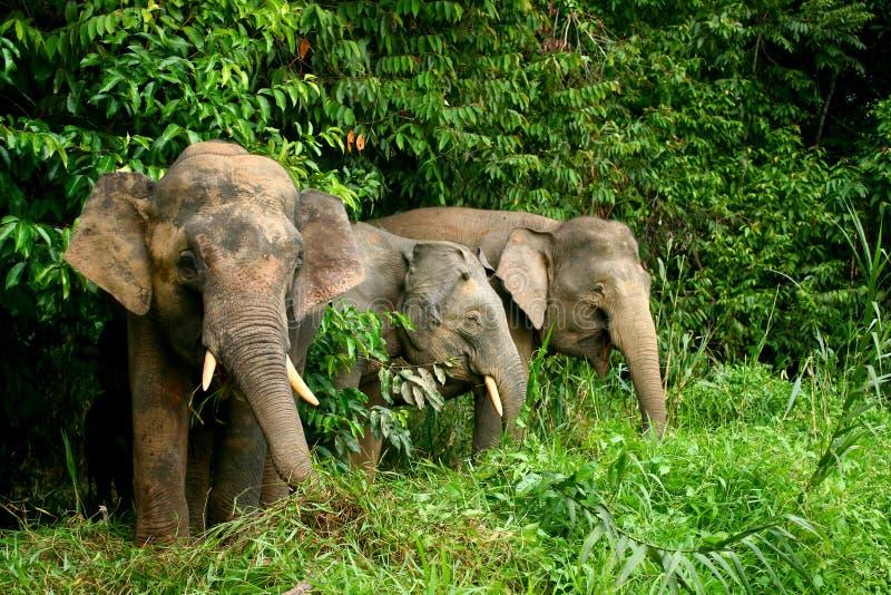 Pygmy Elephant stock image
