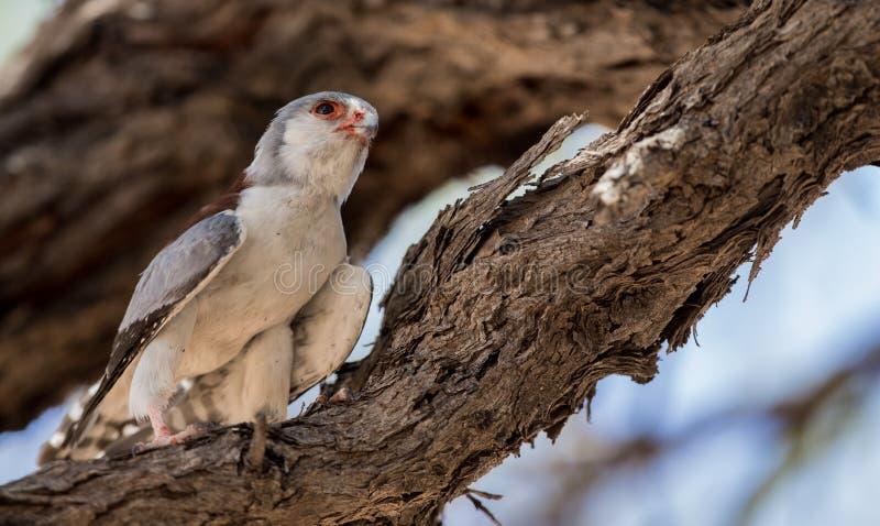 Pygmy_falcon royaltyfria foton