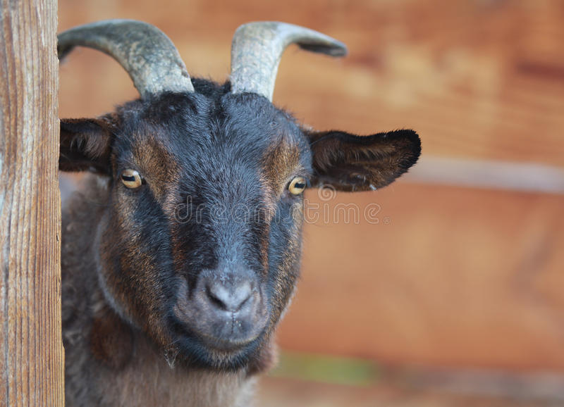 Download A pygmy goat. stock image. Image of poultry, agriculture - 28886439
